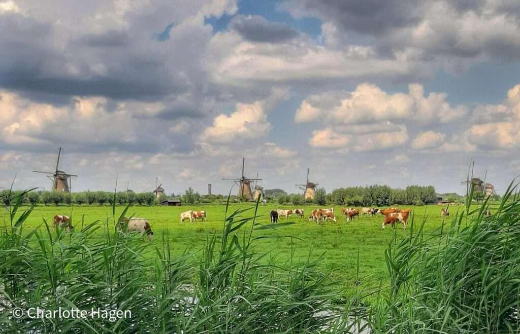 Koeien in de wei met uitzicht op de molens van Kinderdijk