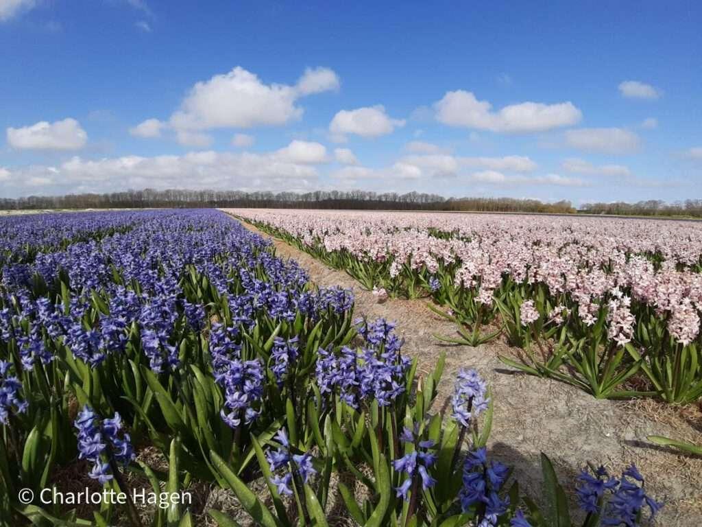 hyacintenveld