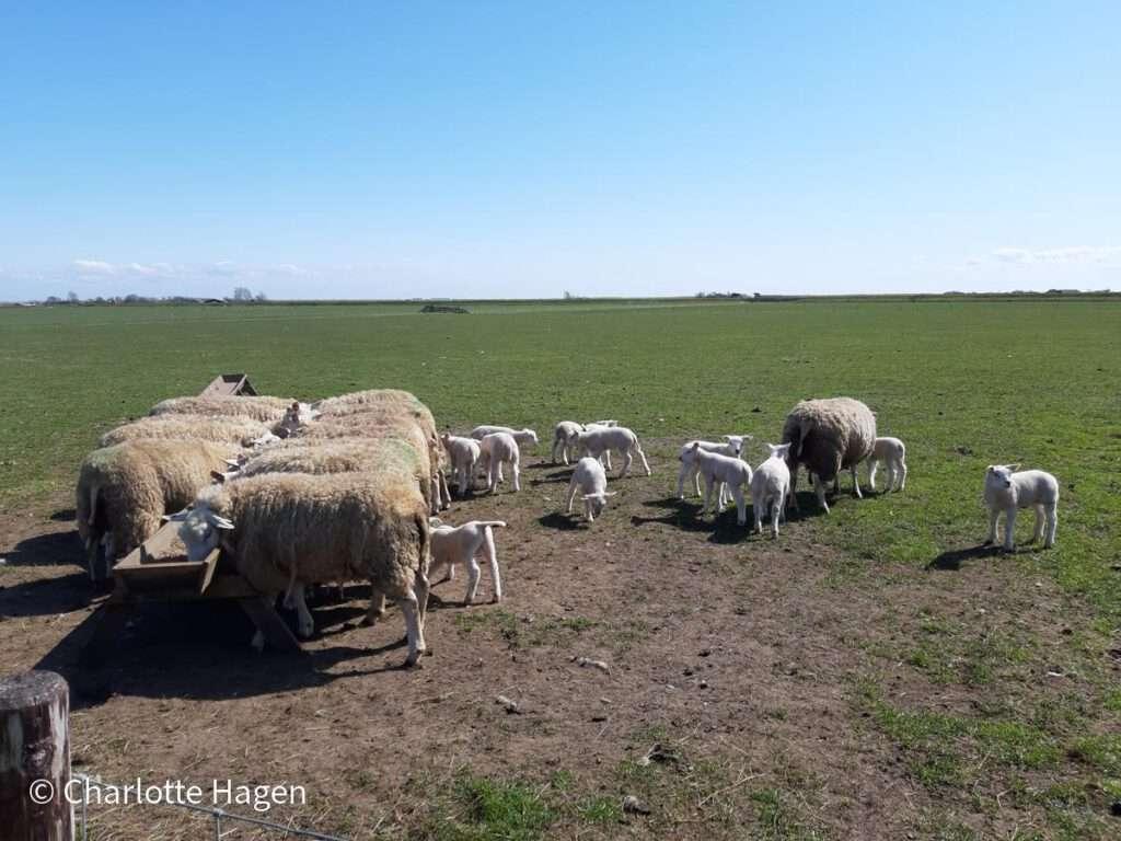 schapen wezenspyk