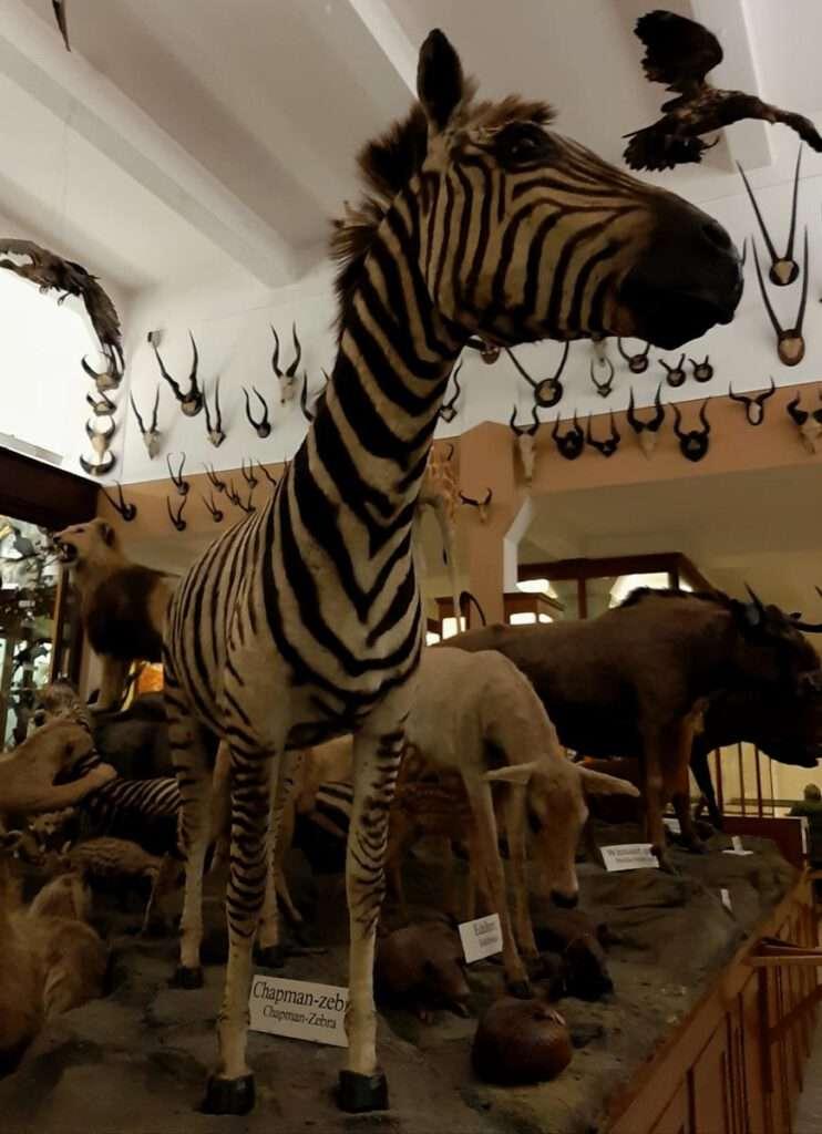 zebra en zo