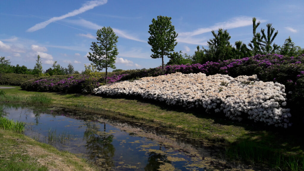 witte rododendrons