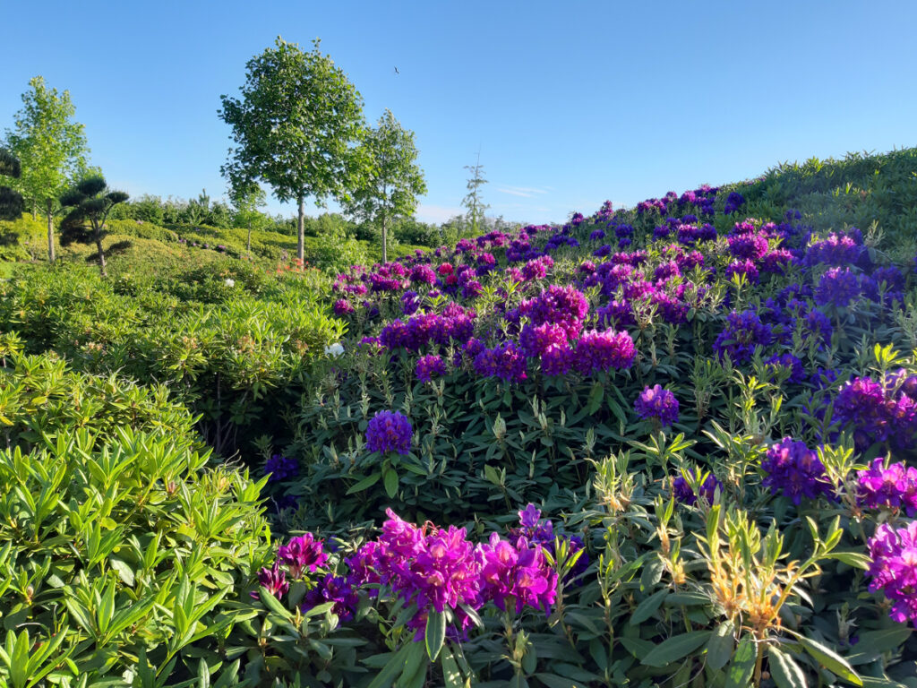 paarse rododendrons